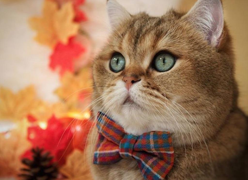 cute cat wearing a bow tie