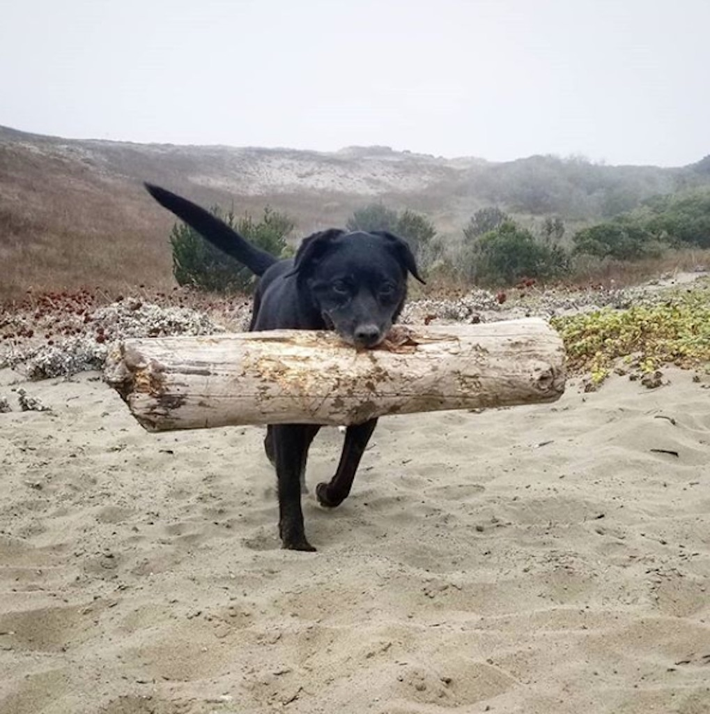 dog with a giant stick