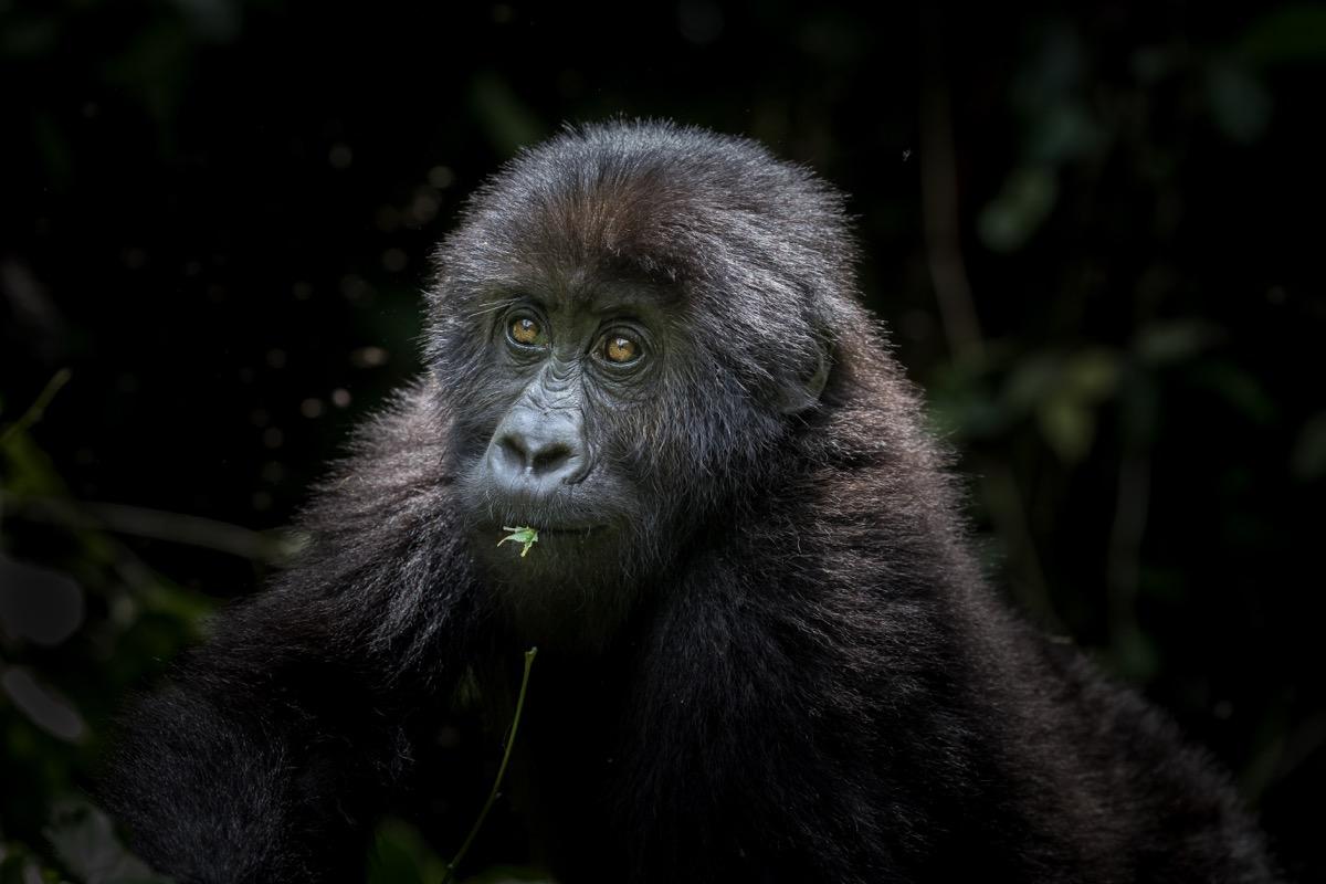 east lowland gorilla