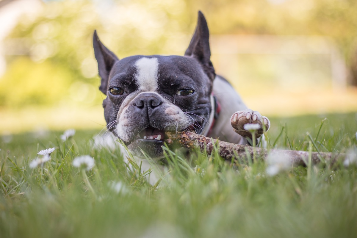French Bulldog Boston Terrier Mix Mixed Breed Dogs