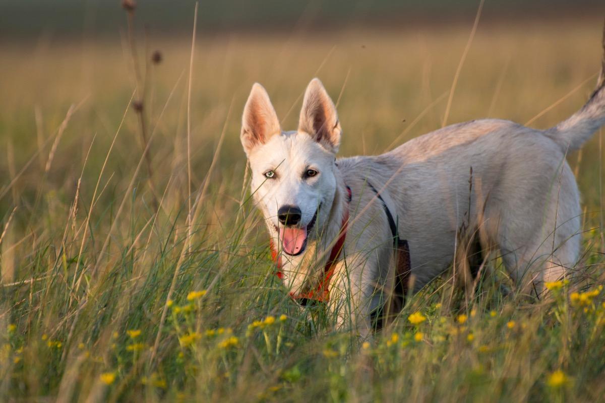 Gerberian Shepsky Mixed breed dogs