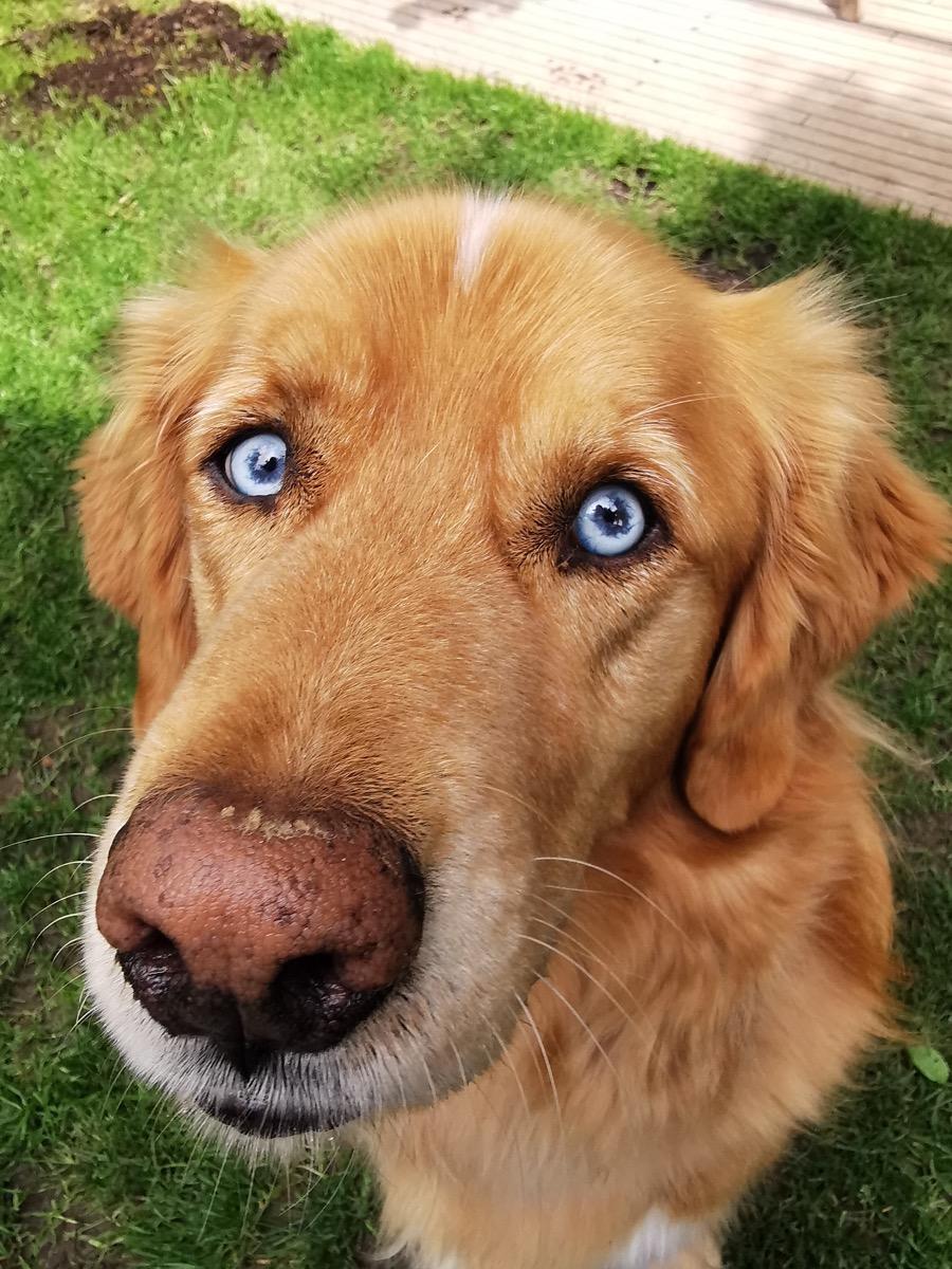 Goberian Mixed Breed Dogs