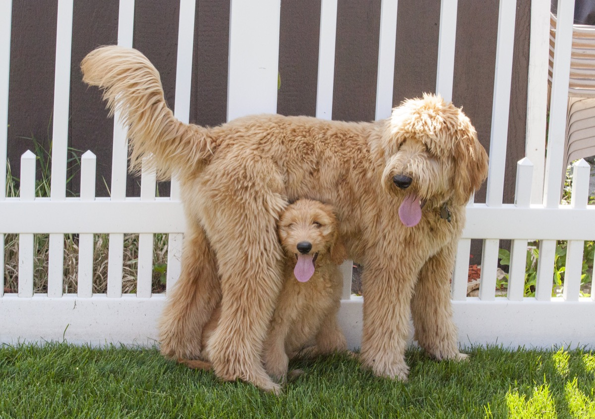 Goldendoodle Mixed breed Dogs