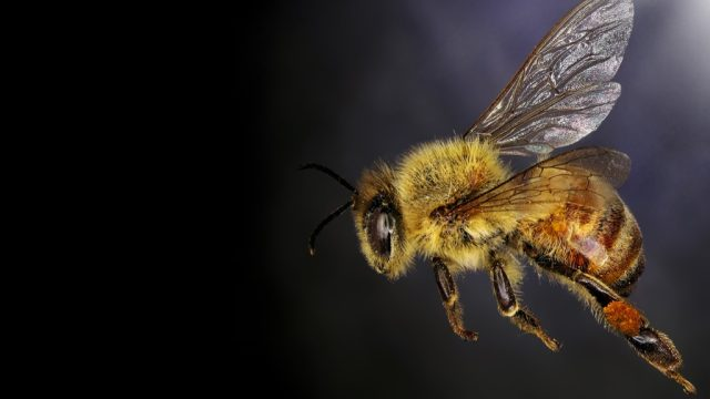 honey bee close up shot