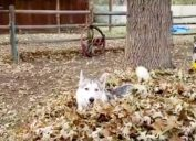Viral video of husky playing in a pile of leaves.