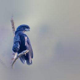 long wattled umbrellabird