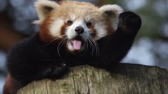 Red panda raising fist