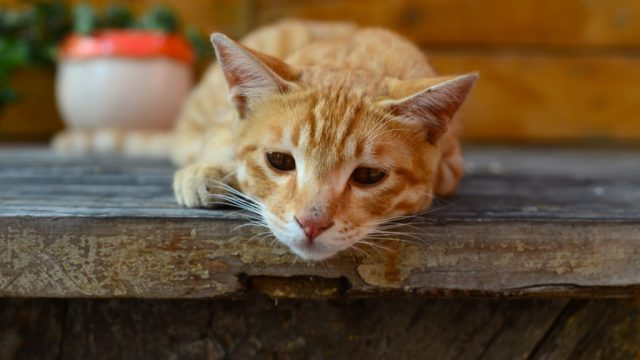 sad cat laying on a wooden shelf suffering from pet depression