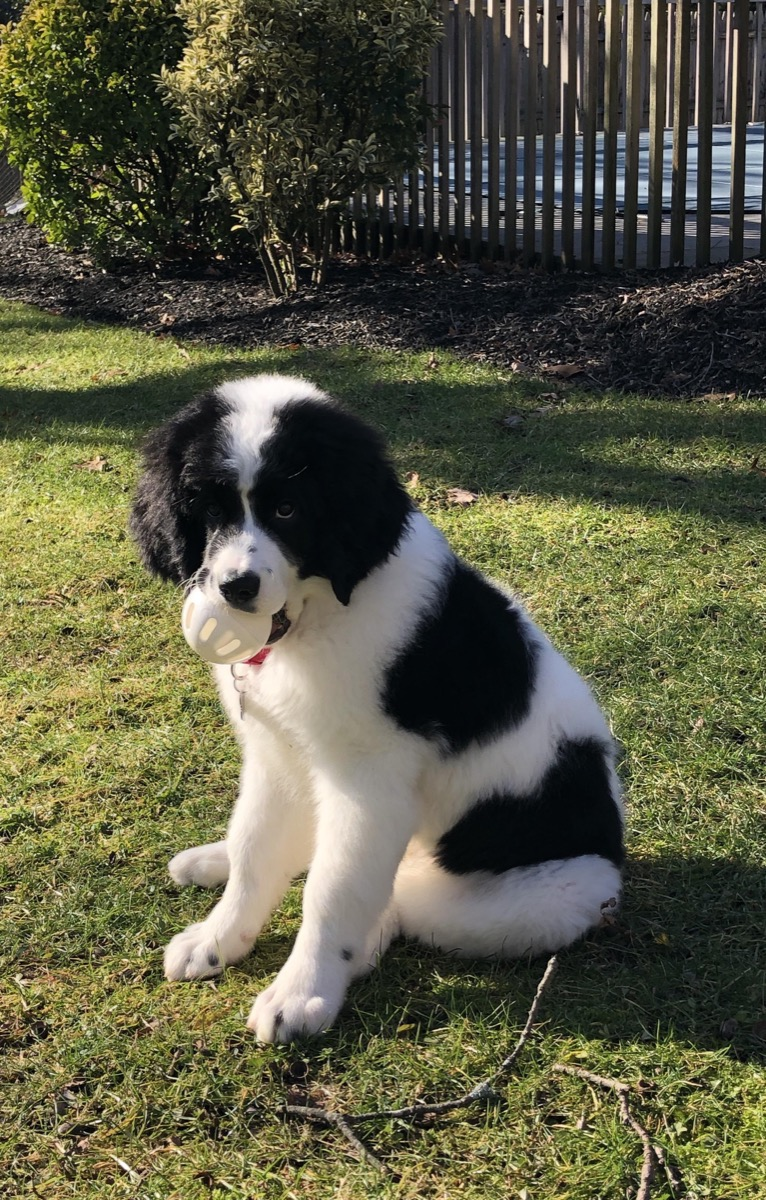 Saint Bernard Poodle Mix Mixed breed Dogs