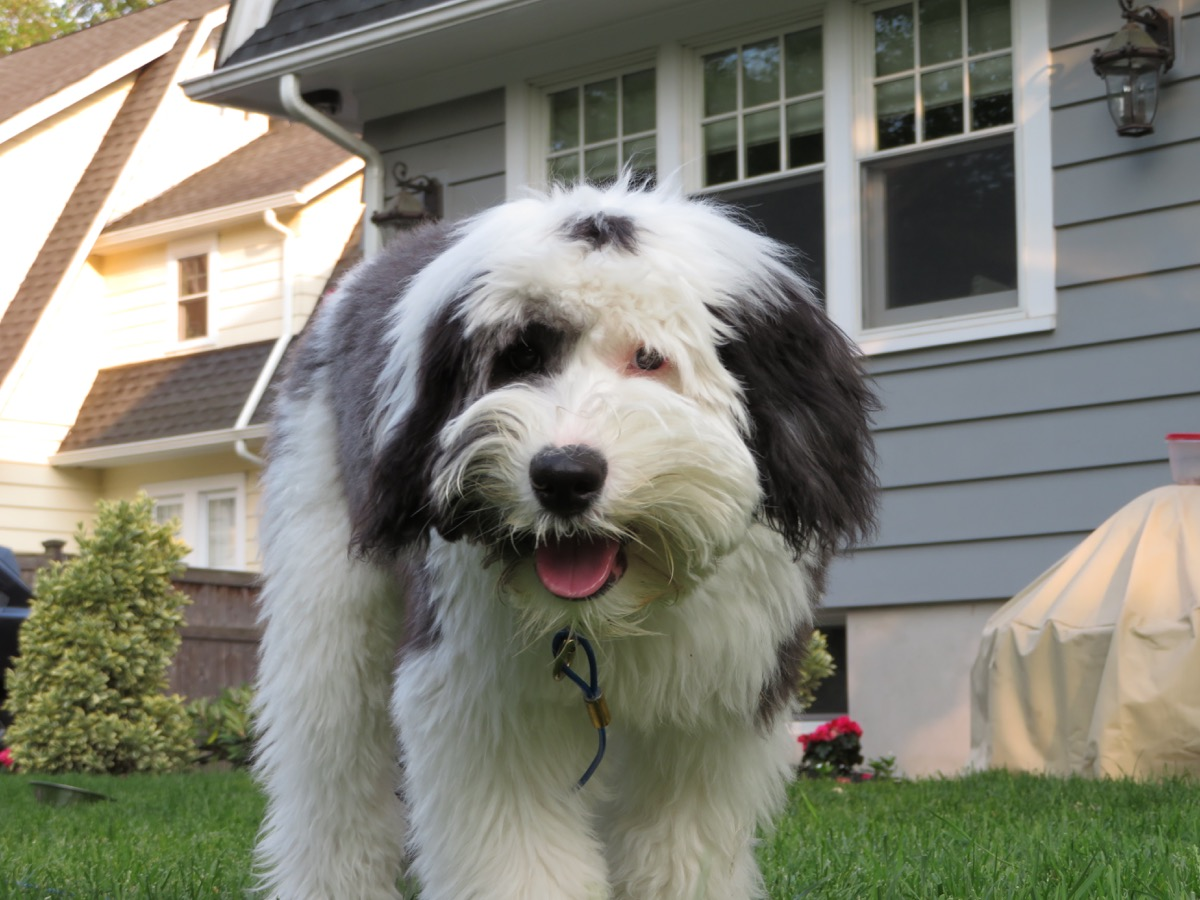 Sheepadoodle Mixed Breed Dogs