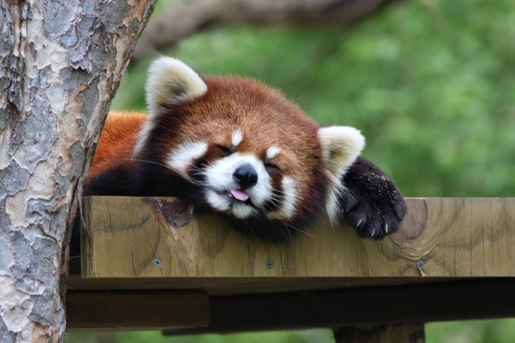 sleeping red panda