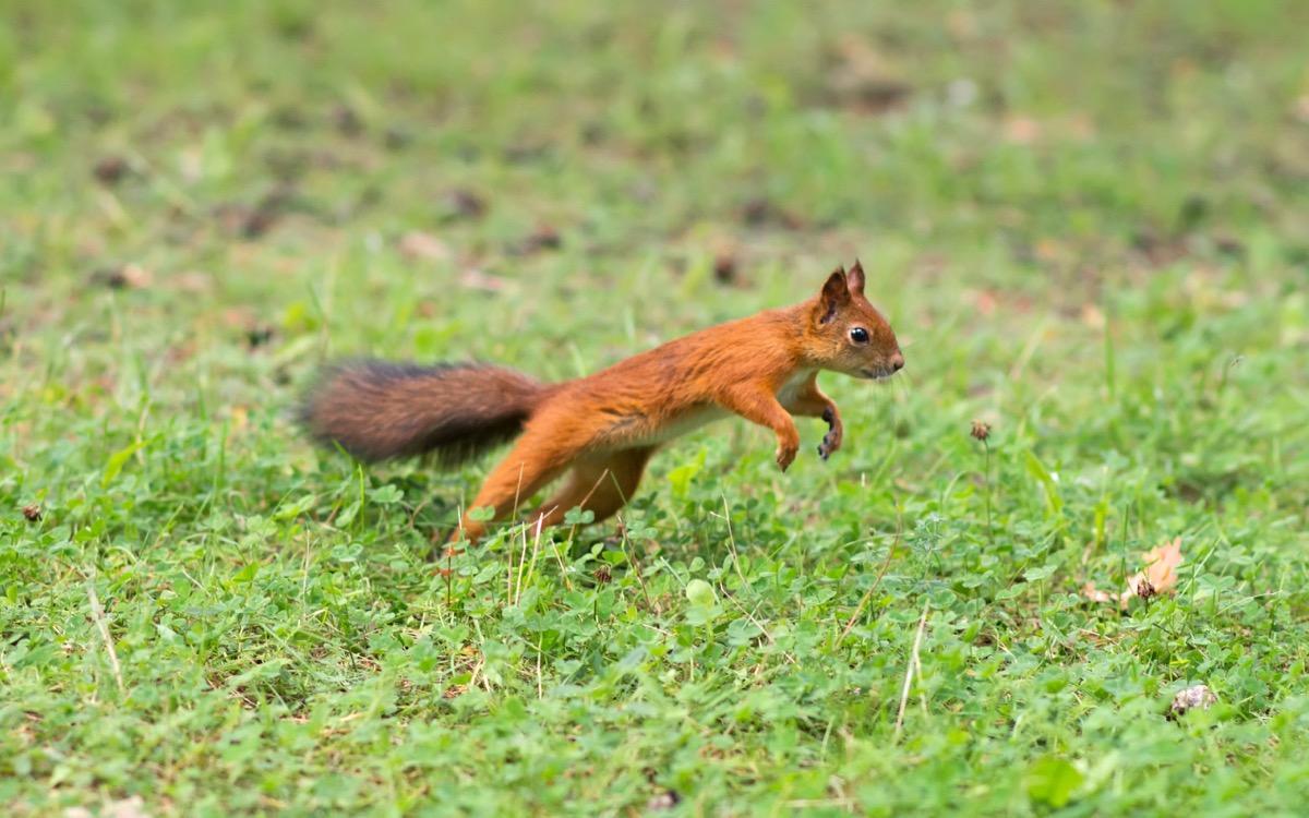 Squirrel running in the grass