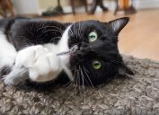 a tuxedo cat playing with catnip - why do cats like catnip so much