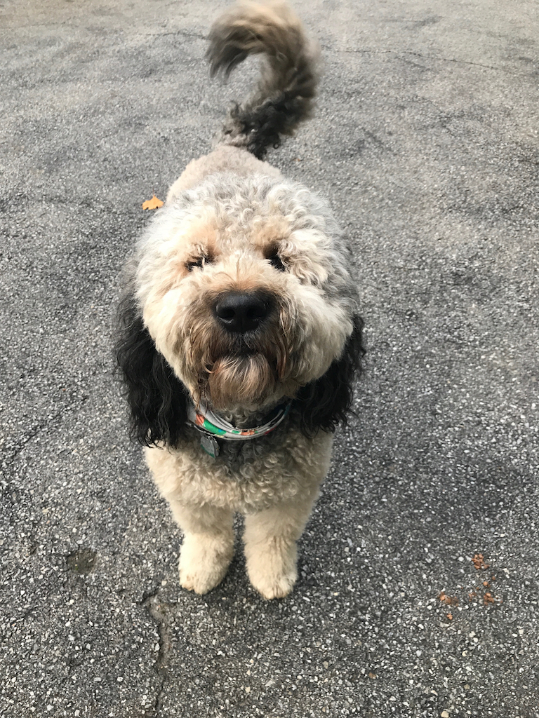 Walter the Bernedoodle, cutest hybrid dogs