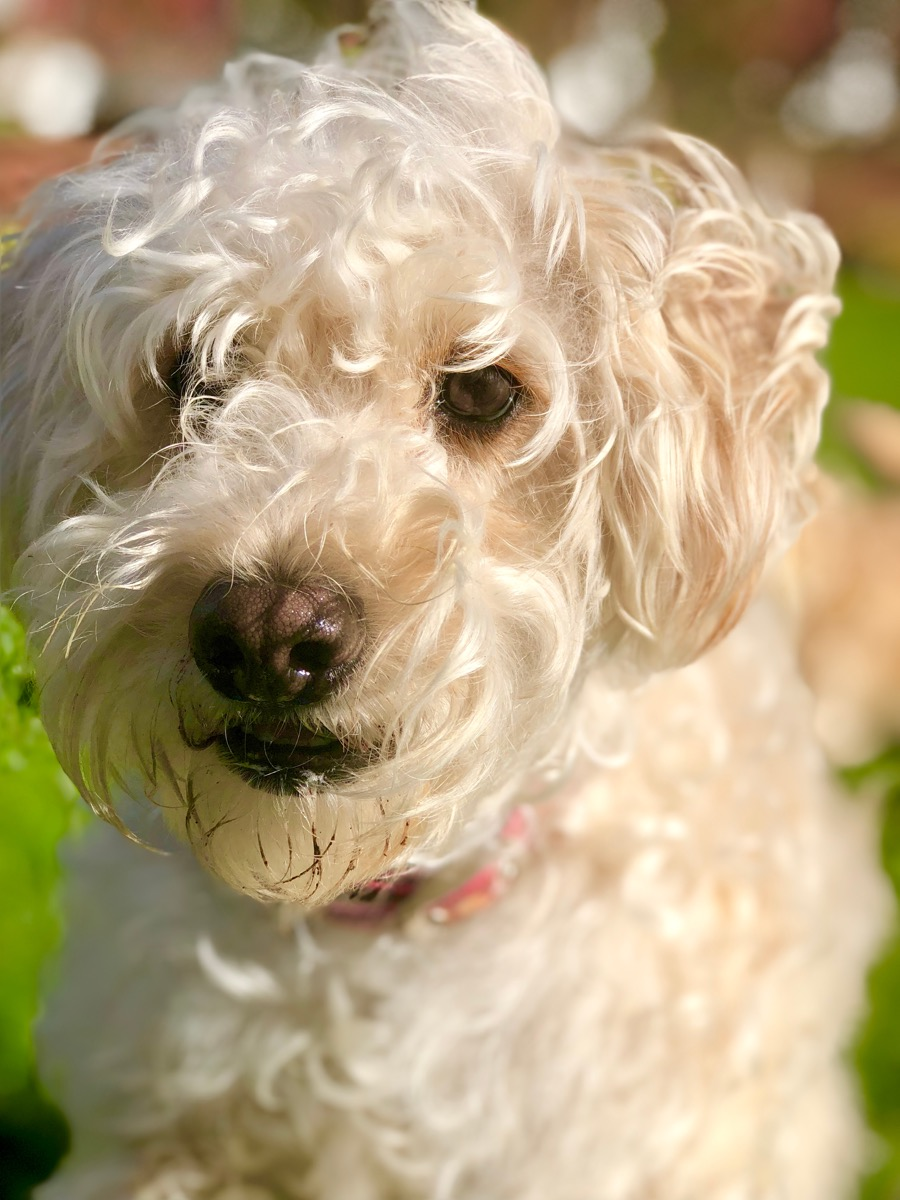 Whoodle Mixed Breed Dogs
