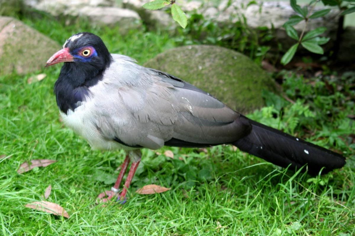 Grand-Cuckoo