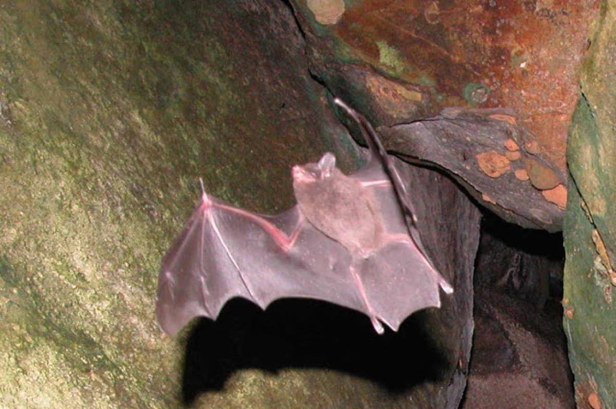 Seychelles-Bat