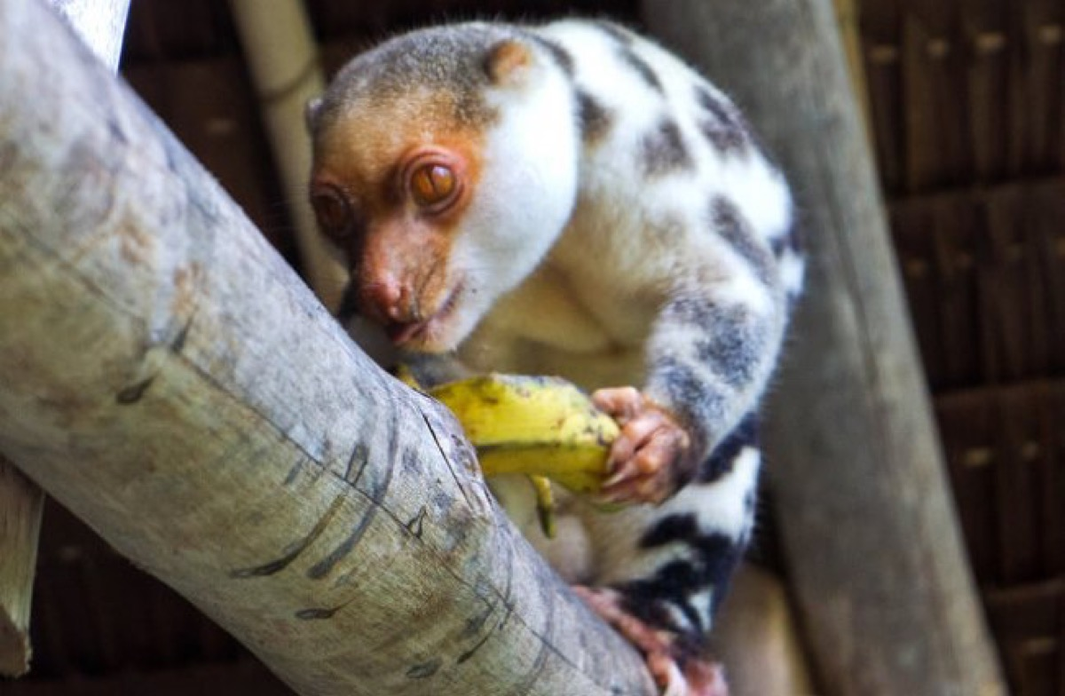 Black Spotted Cuscus