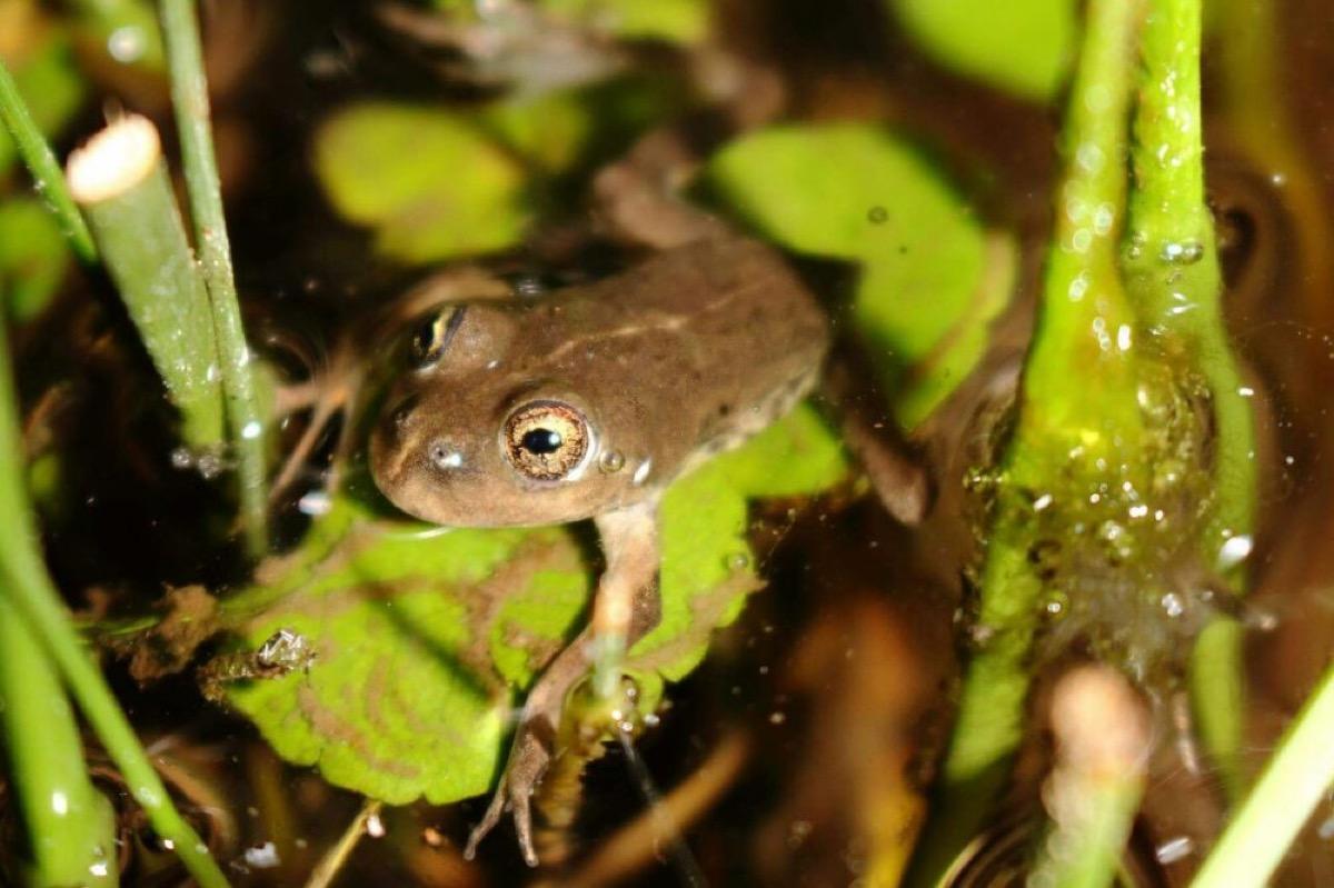 Stream Frog Rare