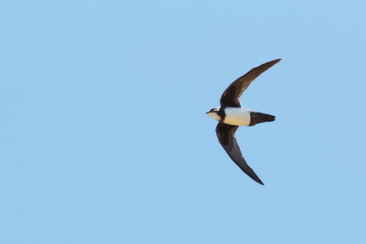Alpine Swift flying {How Do Animals Stay Warm}