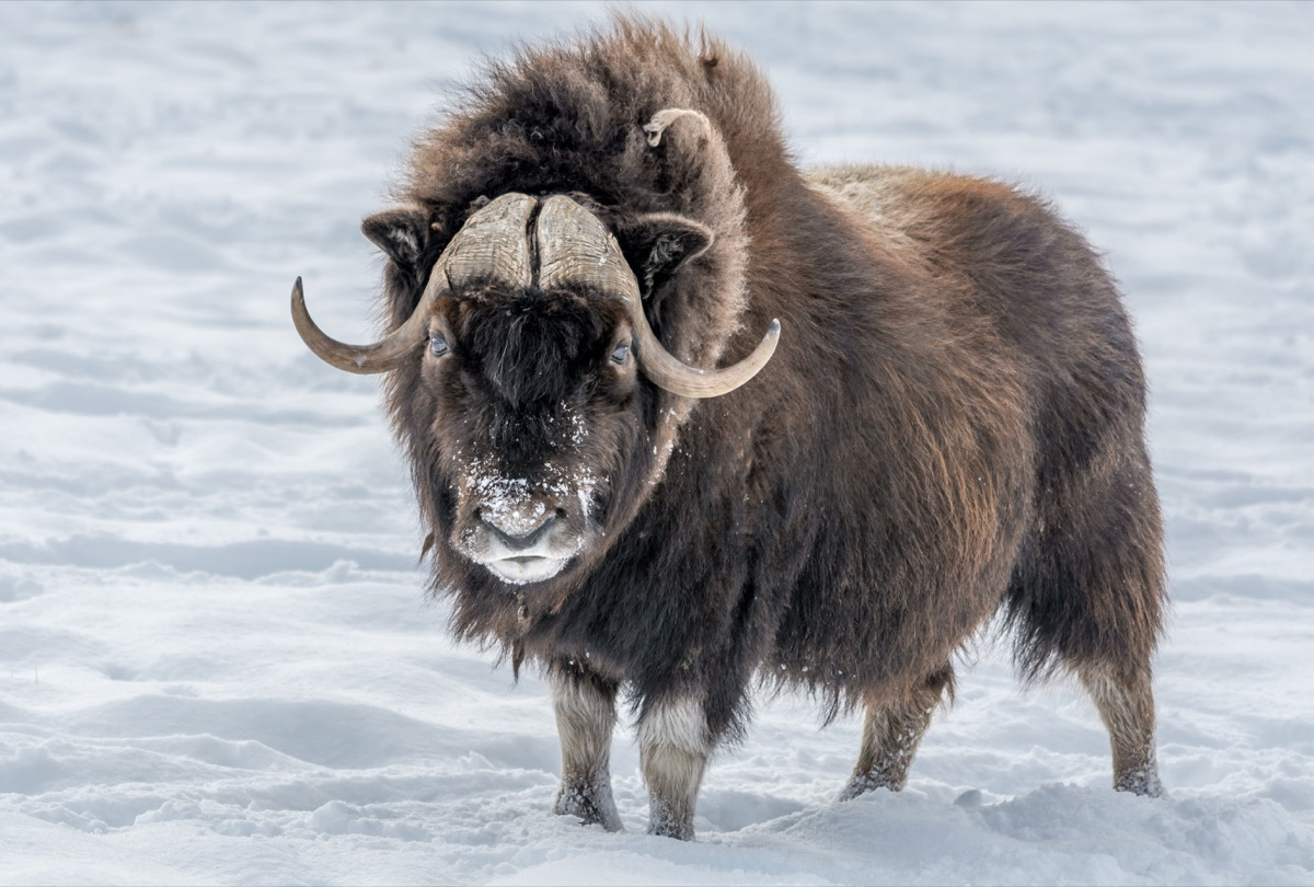 Arctic Musk Ox {How Do Animals Stay Warm}