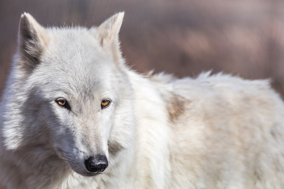 Arctic Wolf {How Do Animals Stay Warm}