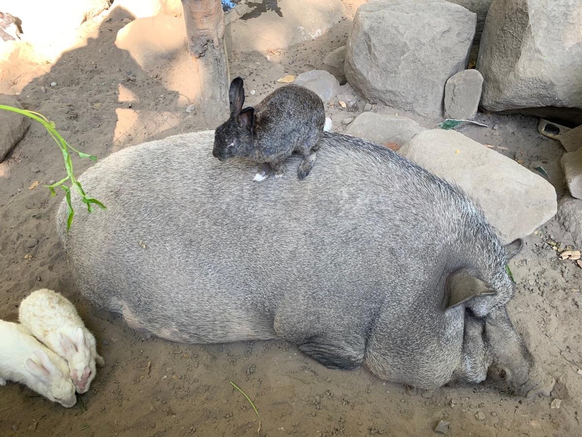 Sleepy boar and bunnies