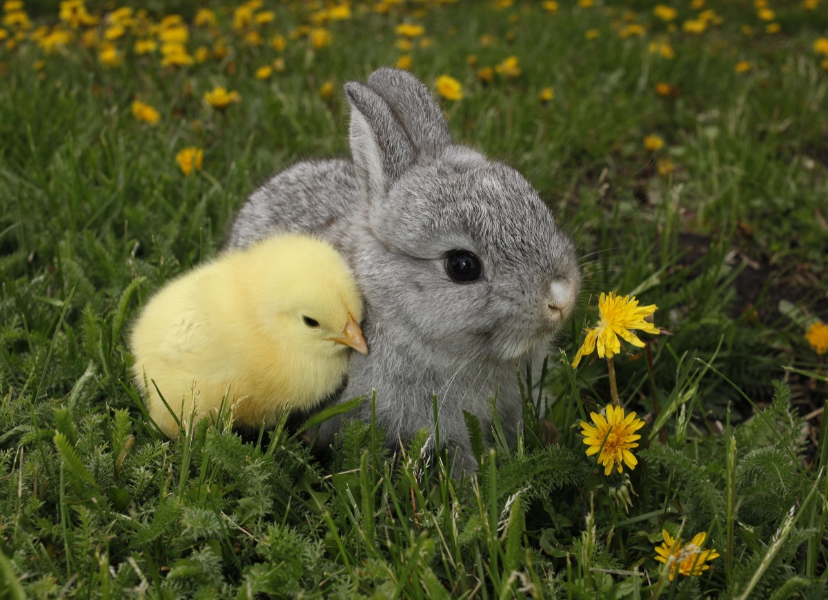Bunny and chick cuddling