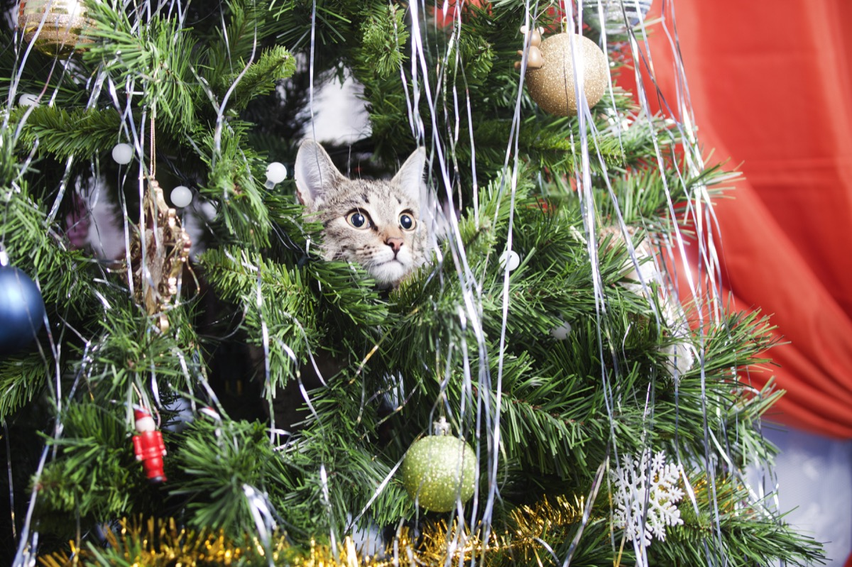 Cat in a Christmas Tree {Why Do Cats Hate Christmas Trees}