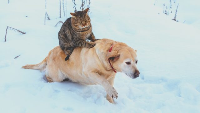 Cat riding on dog's back