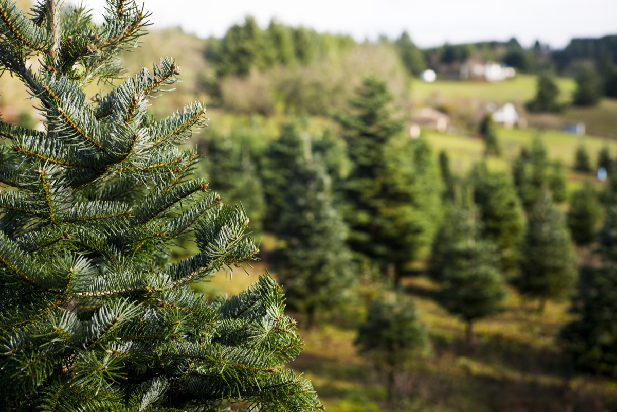 christmas tree farm with trees everywhere