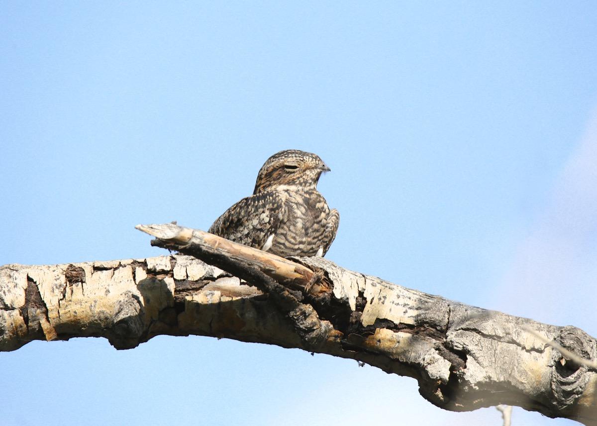 Common Poorwill Bird {How Do Animals Stay Warm}