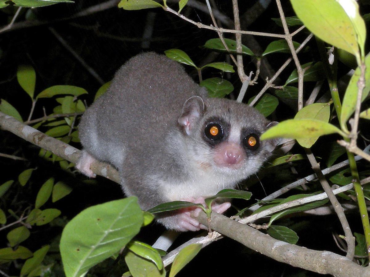 Fat-Tailed Dwarf Lemur {How Do Animals Stay Warm}