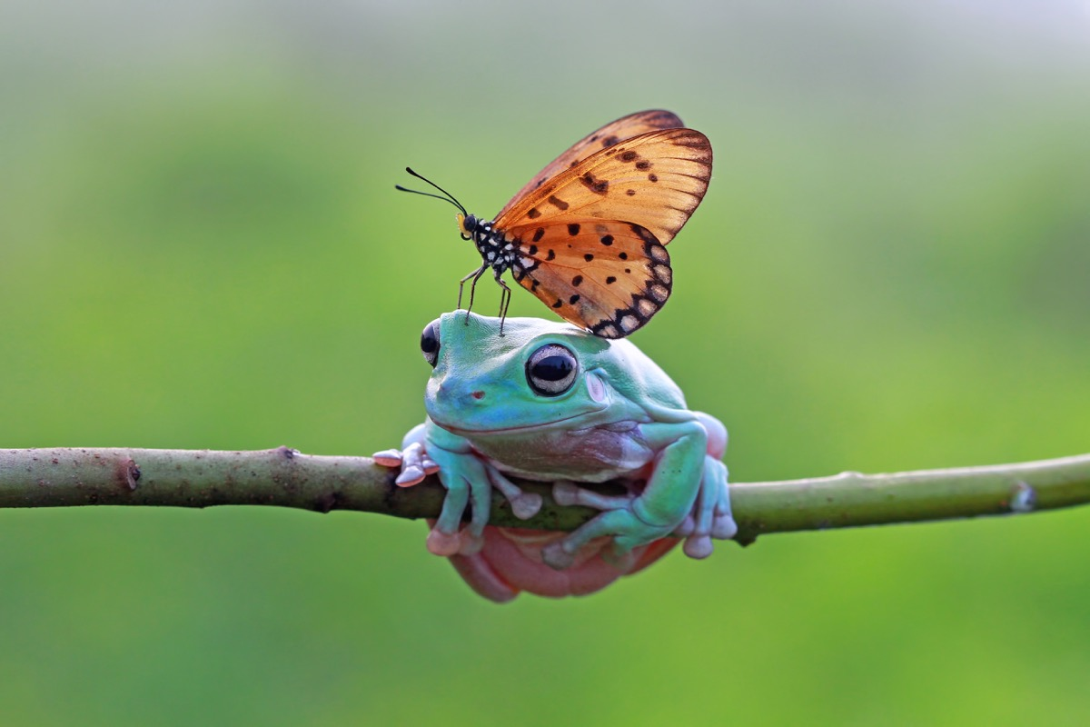 Frog with butterfly on head