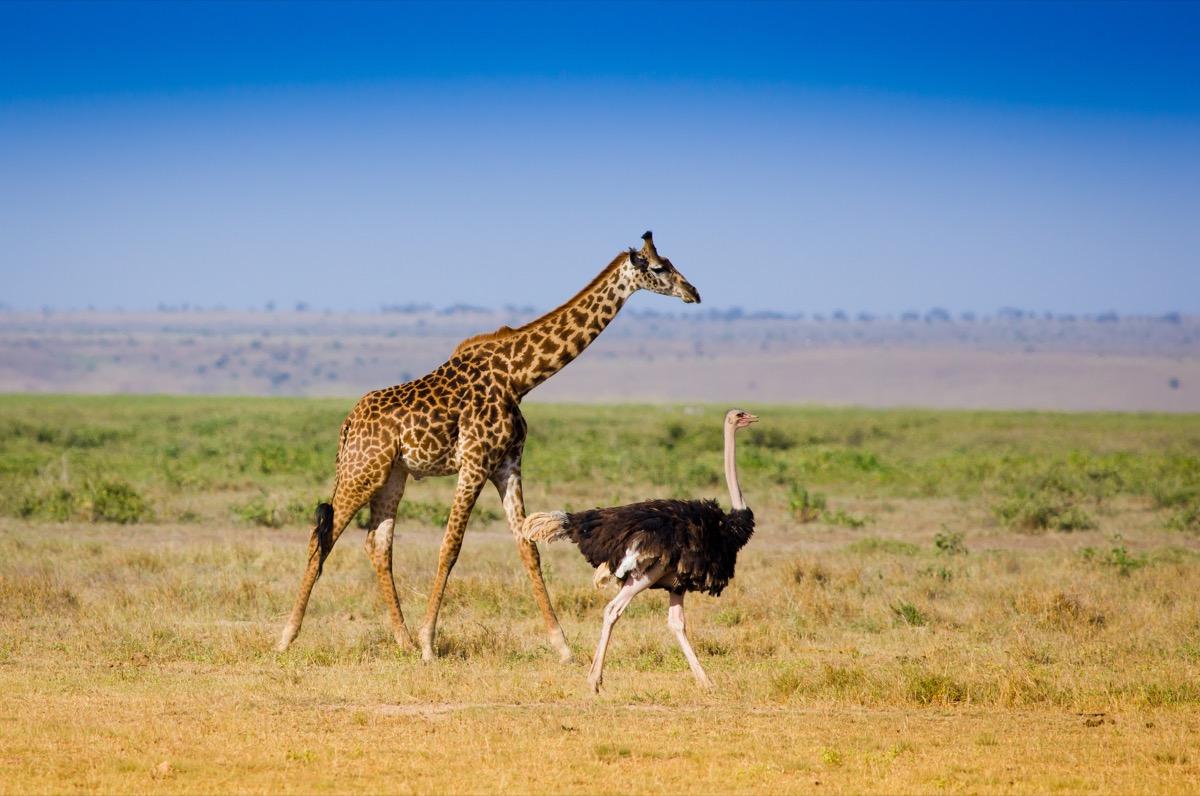 Giraffe and ostrich walking
