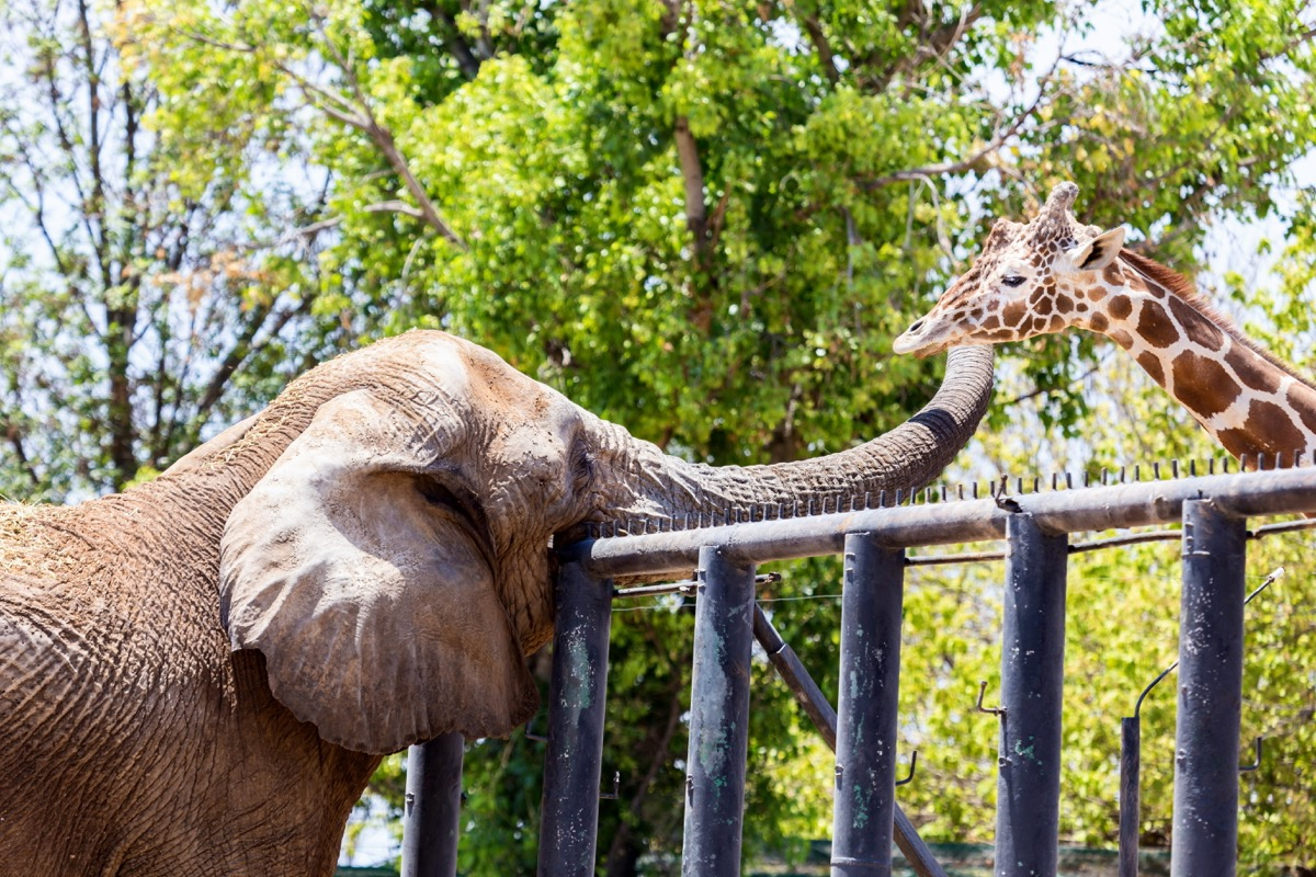 Giraffe and elephant hanging out