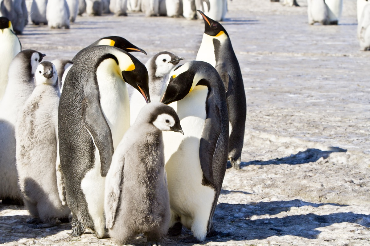 Huddle of Emperor Penguins {How do Animals Stay Warm in Winter}