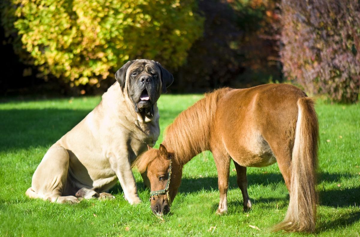 Big dog and tiny horse probably little sebastian