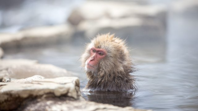 Japanese macaque bathing