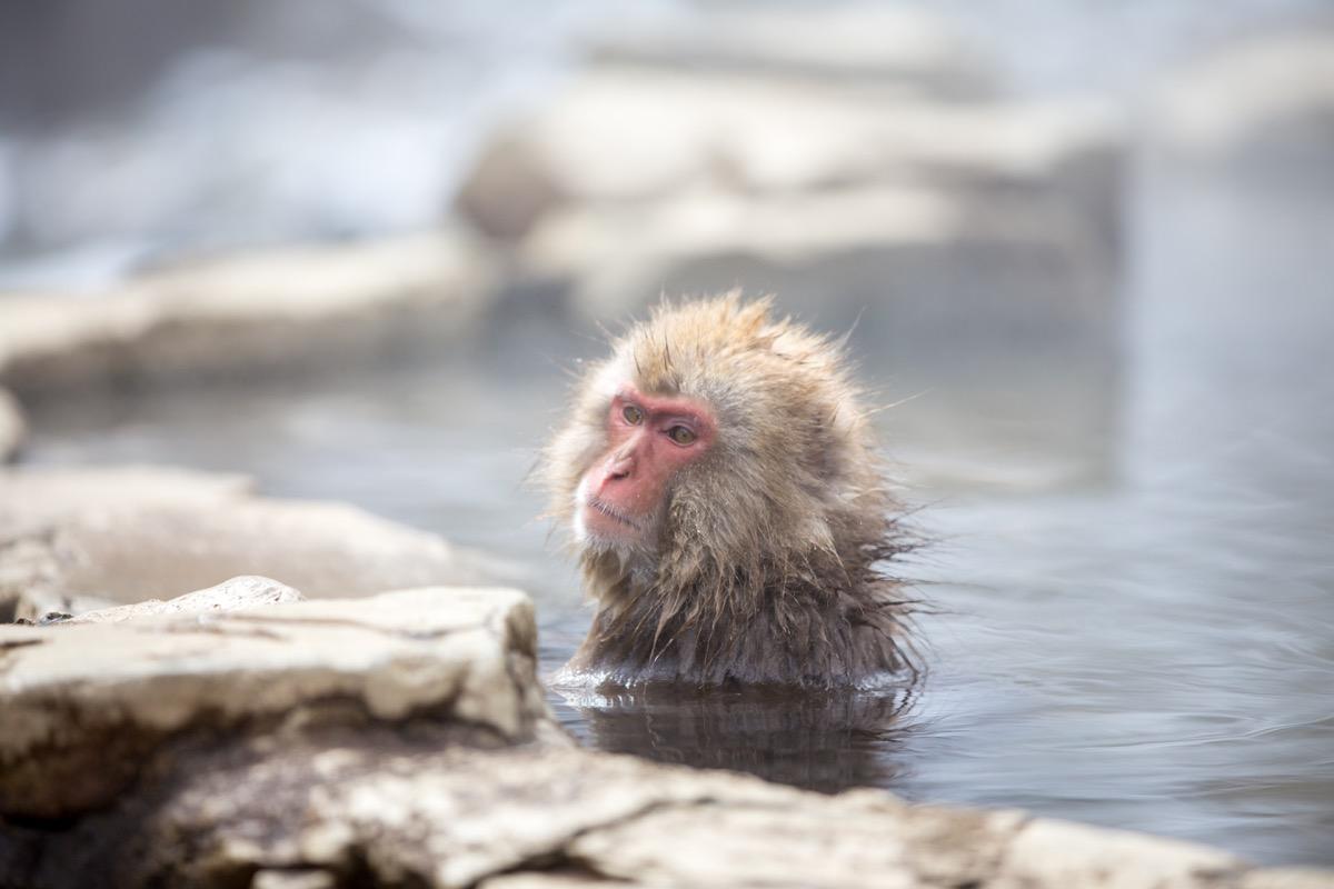 Japanese macaque bathing {How Do Animals Stay Warm}