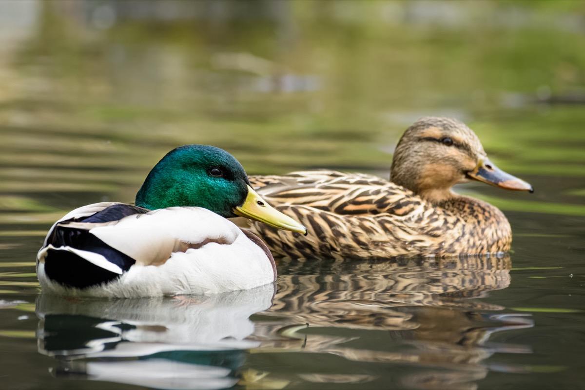 Mallard ducks swimming in a pond