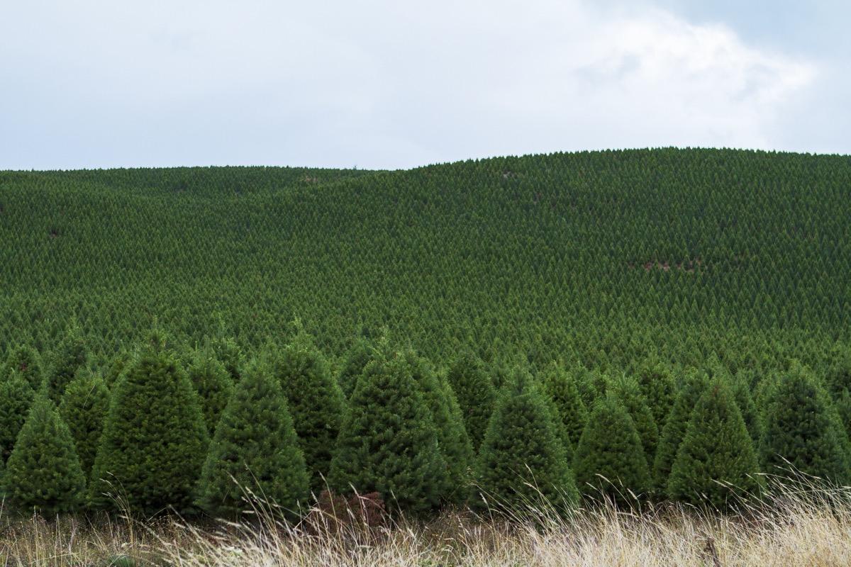 many christmas trees at a christmas tree farm