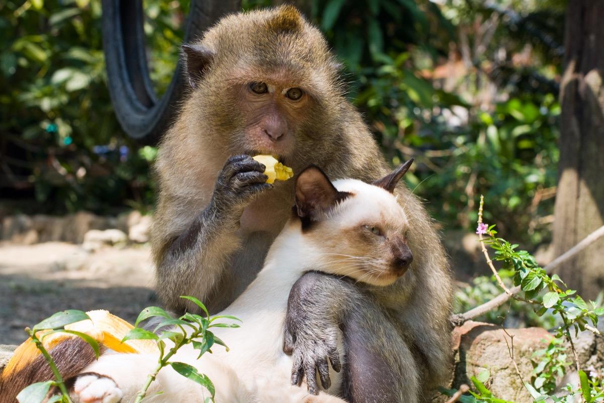 Monkey hugging lounging cat