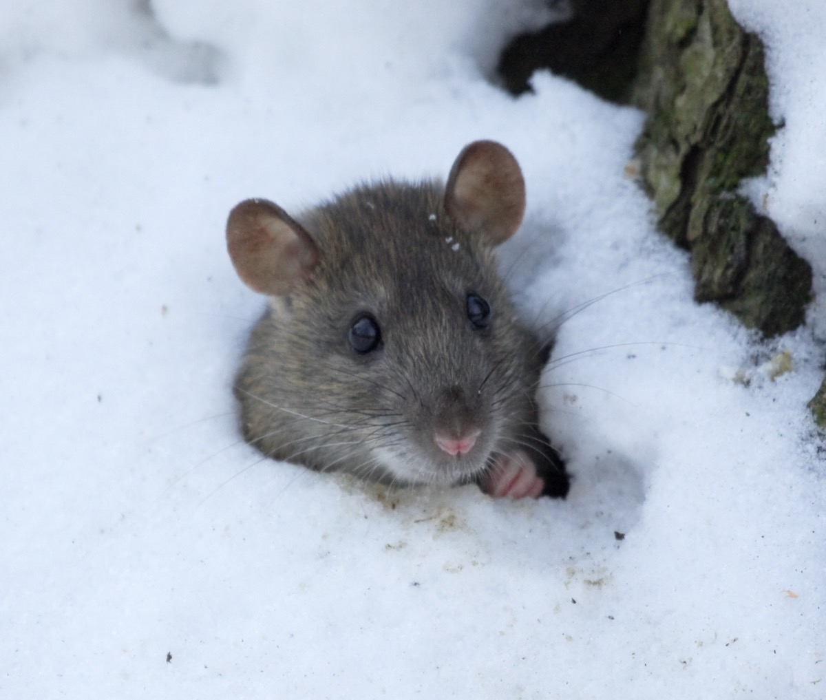 Mouse Digging Through the Snow {How Do Animals Stay Warm}