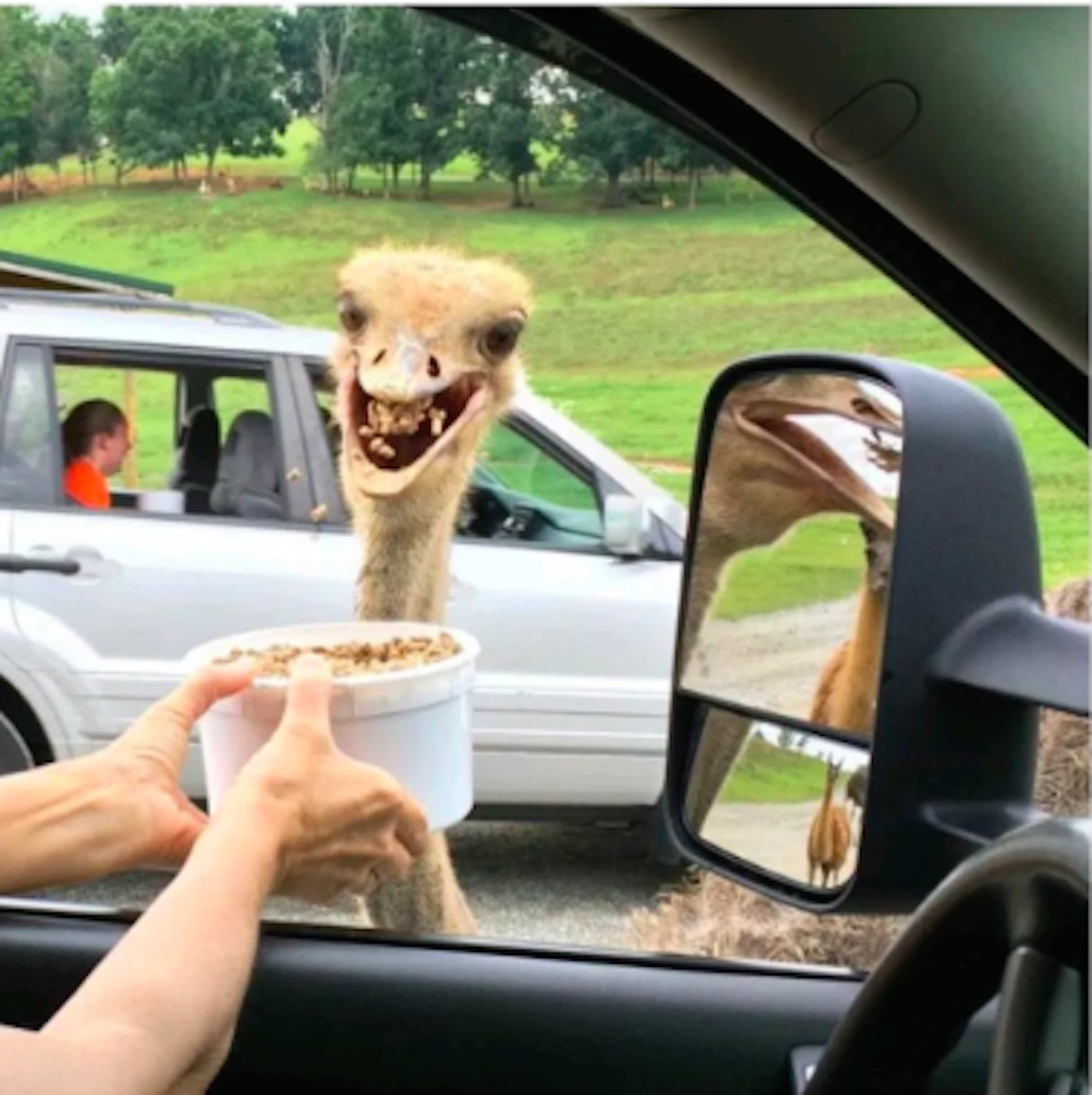 ostrich funny photo
