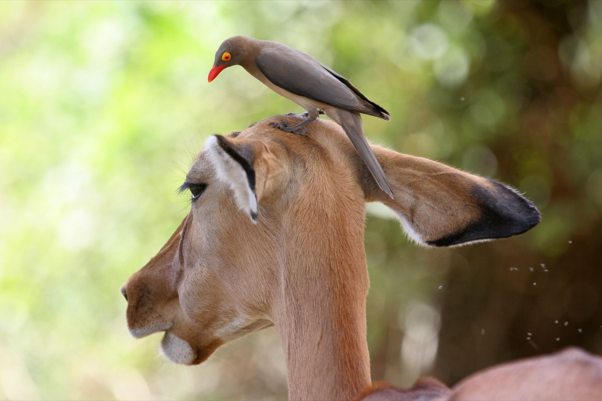 Oxpecker on antelope's head