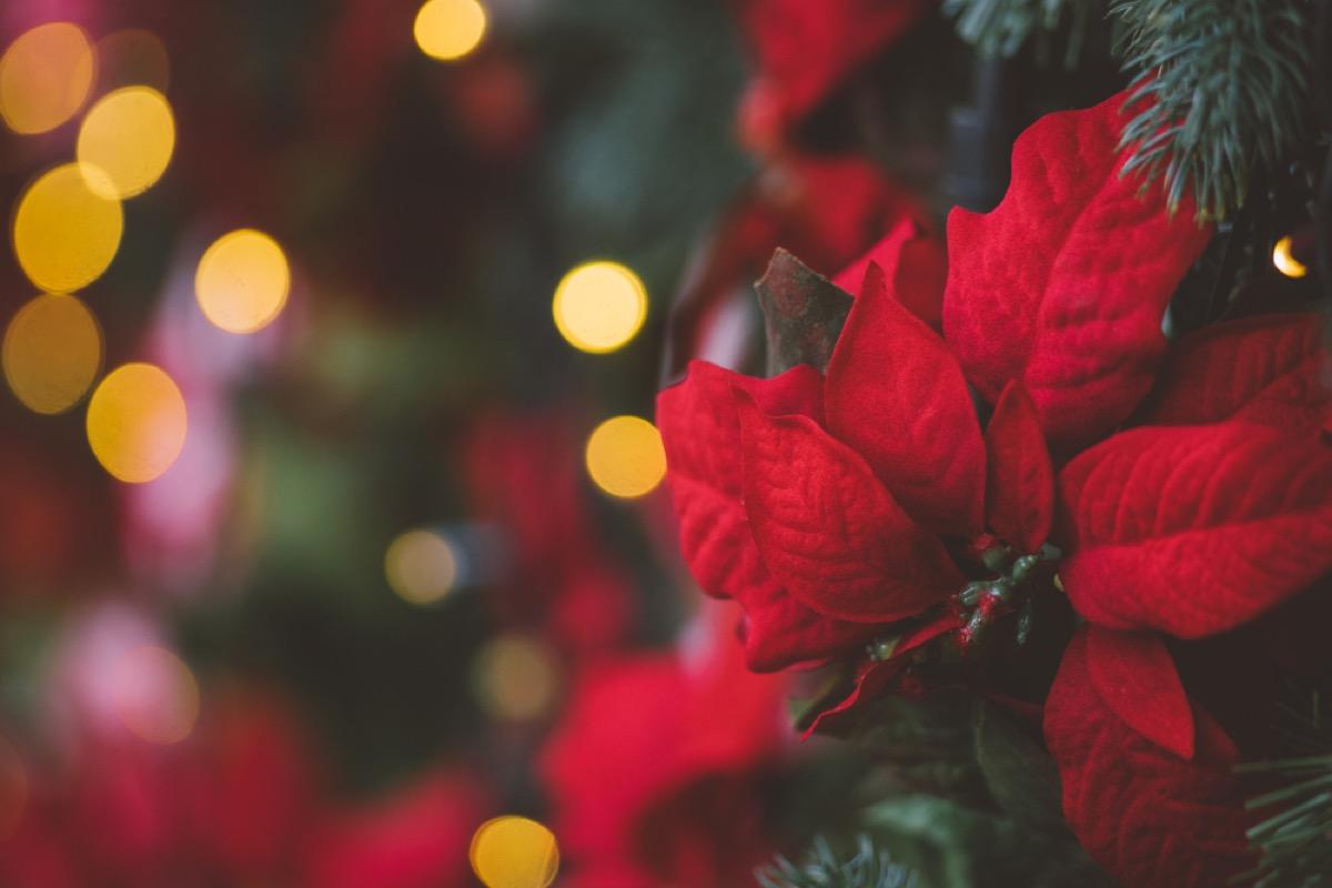 pointsettia closeup on christmas tree