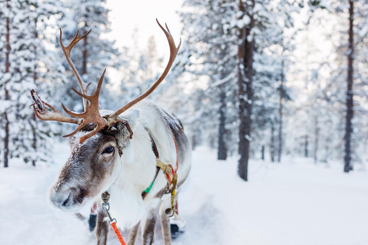 reindeer santa facts