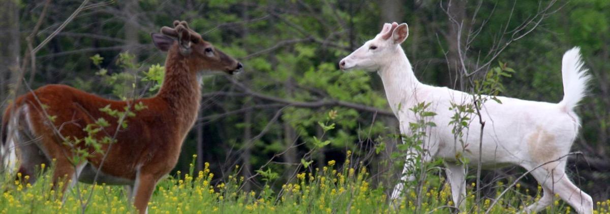 Seneca White Deer Endangered