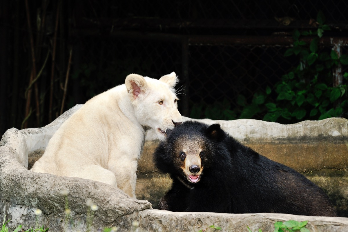 Tiger and bear hanging out